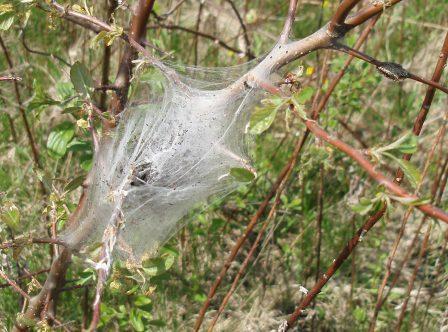 eastern-tent-caterpillar-nest-b.jpg