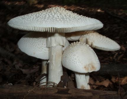 Oak savanna fungi   Timberhill Oak Savanna