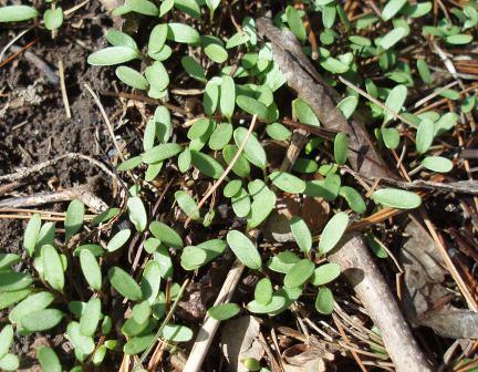 Indian hedge mustard - Grains Research & Development Corporation