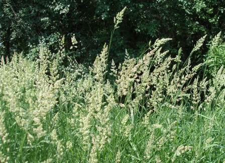 how to get rid of giant reed grass