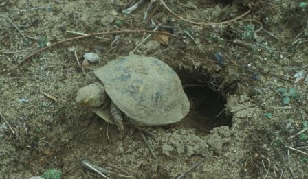 A box turtle emerges from its sandy-soil hibernaculum in spring.