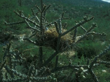 Cactus wren nest in a walking stick cholla cactus.