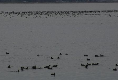 Rafting coots, Lake Maxinkuckee