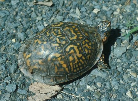 The eastern box turtle (shown) is a forest dweller. The ornate box turtle is a prairie species that has become rare in Indiana.