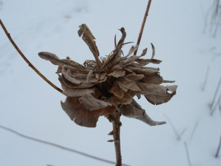 A goldenrod bunch gall