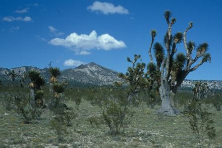 Joshua trees. Note the cumulus cloud that has formed above the mountain, where convection is carrying the paltry bit of humidity up to where it meets air cool enough for condensation.