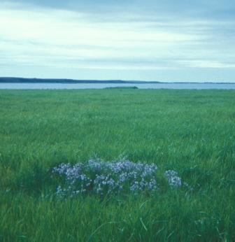 This lowland tundra scene from western Alaska, with the Bering Sea just beyond the horizon, features a little pingo, or ice-cored hill, topped by a dense cluster of Polemonium acutiflorum.
