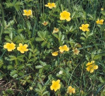 There is no mistaking this as a cinquefoil.