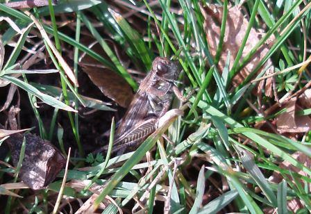 An early December red-legged grasshopper
