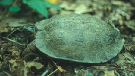 The wood turtle, like the eastern box turtle, lives in forests.