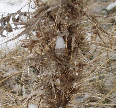 The dense, spiny leaves all remain attached, intimidating in winter as in summer.