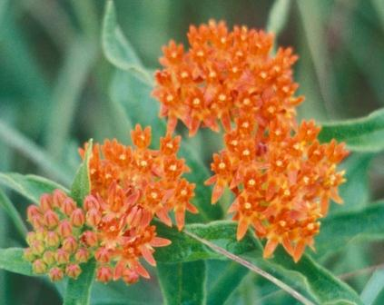 It seemed that the butterfly milkweeds at Horsethief Canyon, especially, were of a more intense color than this species shows in our region.
