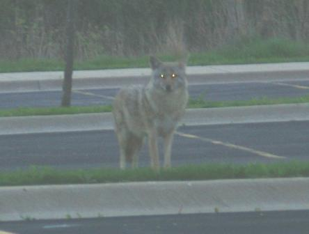 Coyote. The eyes, glowing from the flash, suggest the fearful image many suburbanites have of coyotes. They are actually relatively small animals, usually less than 30 pounds, but look bigger thanks to the long legs.