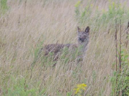 Half-grown coyote pup, in a meadow at Mayslake Forest Preserve.