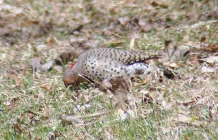 Flickers consume many ants, like other woodpeckers, but unlike them often feed on the ground.