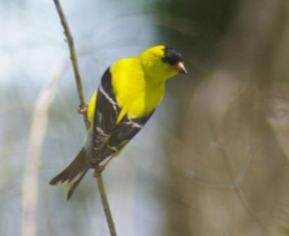 Goldfinches spend much of their time in open places, especially fields rich in seed-bearing annuals and perennials.