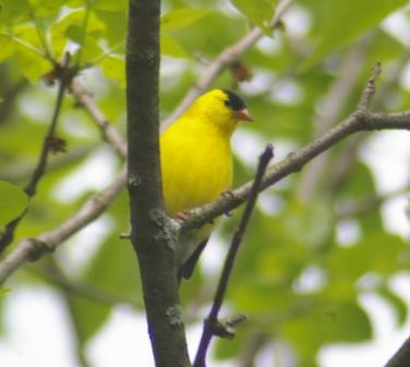 American goldfinch, male in summer plumage.