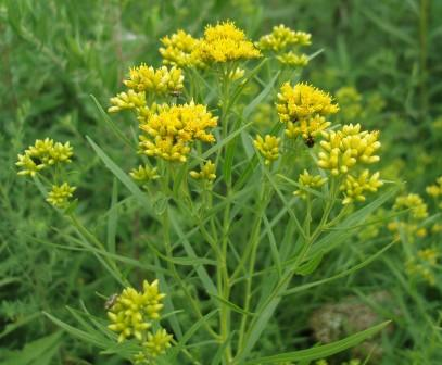 The plant is much more conspicuous, and more clearly a goldenrod, when blooming.
