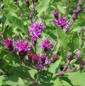 Missouri ironweed in flower.