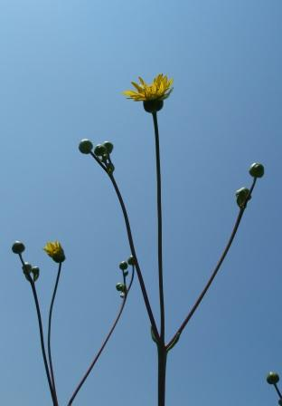When blooming, its flower stalks tower above nearly all the other prairie plants.
