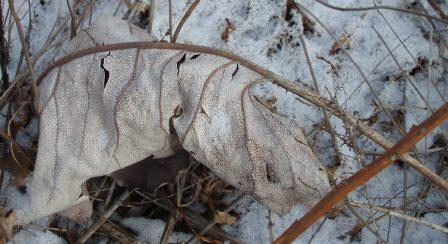 The broad, large, sandpapery textured leaves become gray with white speckles.