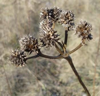 To use a language analogy, rattlesnake master is a cognate. The fruiting clusters are very reminiscent of the flower clusters.