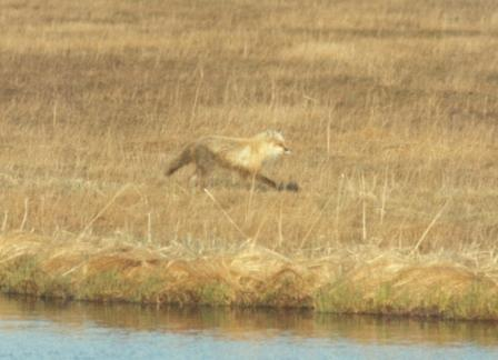 This red fox in western Alaska apparently had just crossed a muddy tidal slough.