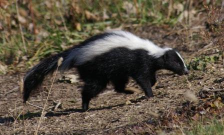 The second study looked at the genetic geography of skunks.