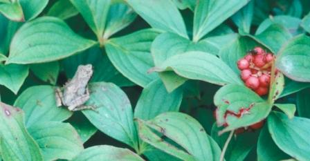 Spring peeper on Isle Royale. The bunchberry is an indicator of the northern Lake Superior location.