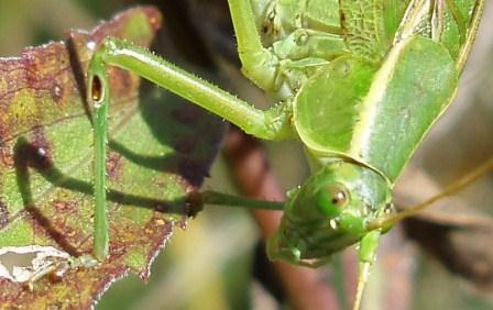 The ear is visible as a brown oval-shaped structure on the front leg of this Texas bush katydid.