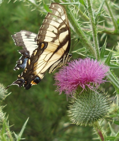 A tiger swallowtail fills its tank at a bull thistle flower head.