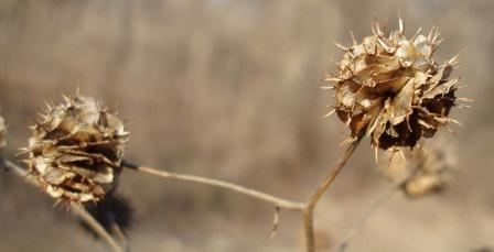The seed head shape is intricate and interesting.