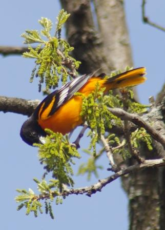 Baltimore oriole 4a
