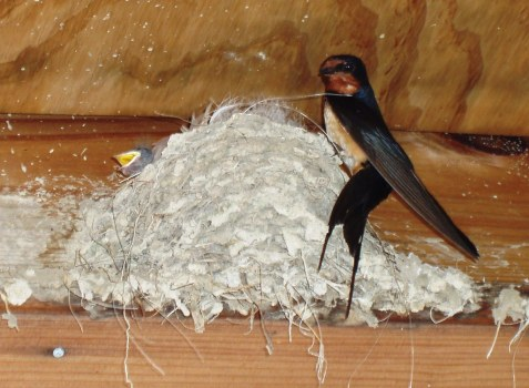 A barn swallow at its nest