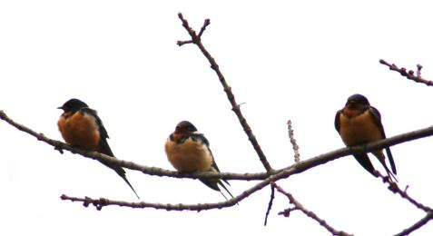 Migrating barn swallows take a break