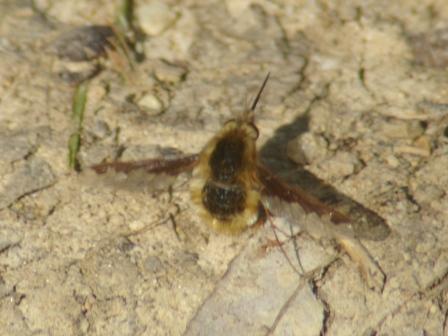 Bee fly b