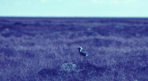 Black-bellied plovers nested in the uplands.