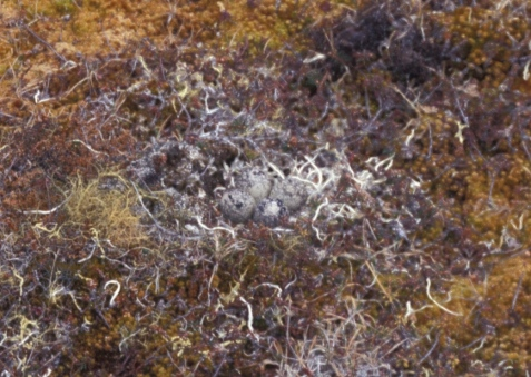 The eggs of the black-bellied plover blend perfectly with the lichens.