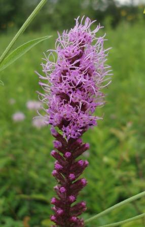 Prairie blazing star, Liatris pycnostachya, in bloom
