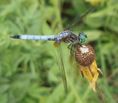Dragonflies today are tiny compared to the giants of the Paleozoic. The following study looked at why they were so big then.