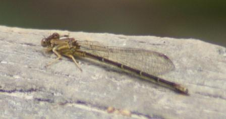 Blue-fronted dancer, brown female. In many damselflies, some females are colored differently from males, like this one, while other individuals have male-like colors. The following study looked at why.