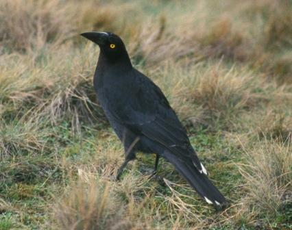Currawongs were among the most memorable of the Australian birds.