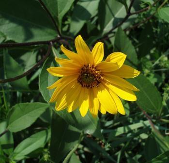 Here is a flowering head.