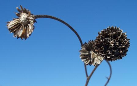 The seed heads are a bit less than an inch in diameter.