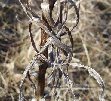 Part of the lower stem of a prairie blazing star.