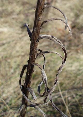 Part of the lower stem of a marsh blazing star.
