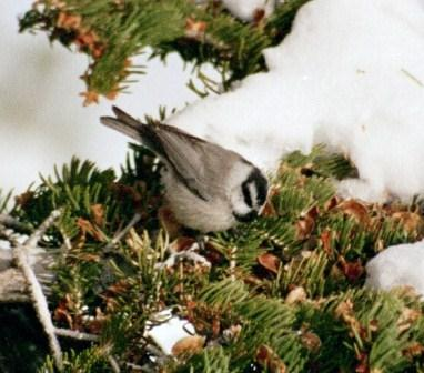 The mountain chickadee is one of the delightful upland birds.