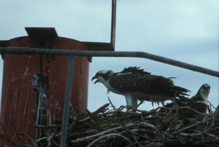 Osprey nest on buoy, Chesapeake Bay