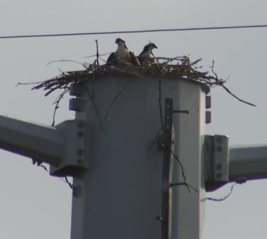 Osprey nest, James Pate Philip State Park