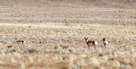 Pronghorns occur in scattered small groups.